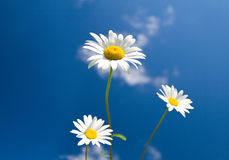 Three chamomiles on blue sky Stock Photo