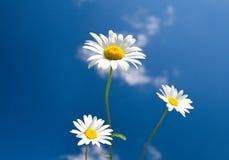 Three chamomiles on blue sky Stock Photo