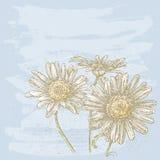 Three chamomiles Royalty Free Stock Photo