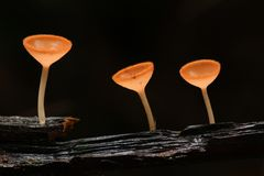 Three champaign mushroom Royalty Free Stock Photos