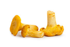 Three chanterelle mushrooms Royalty Free Stock Image