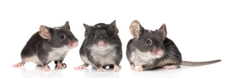 Three charming mouse close-up portrait Stock Photography