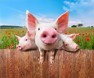 Three charming pigs from wonderful farm. Young pigs on the farm looking over the fence Royalty Free Stock Images