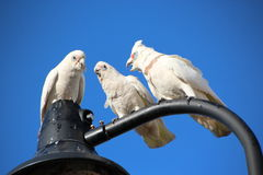 Three Cheeky Corellas on Light Pole Posle      ost Royalty Free Stock Photography