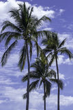 Three cheerful palm trees Stock Image