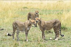 Cheetah gang. Three cheetah brothers gather together Royalty Free Stock Photography