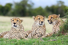 Three cheetah brothers royalty free stock photography