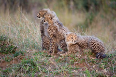 Three cheetah cubs Stock Photography