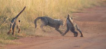 Three Cheetah cubs playing early morning in a road Stock Image