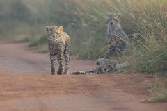 Three Cheetah cubs playing early morning in a road Stock Photo