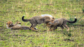 Three cheetah cubs playing on savannah Stock Image