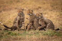 Three cheetah cubs sit looking left together royalty free stock photography
