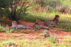Three cheetah at kgalagadi transfrontier park Stock Photo