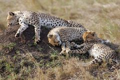 Three Cheetah resting on the Masai Mara Royalty Free Stock Photo