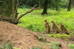 Three cheetah's in green vegetation Royalty Free Stock Photos