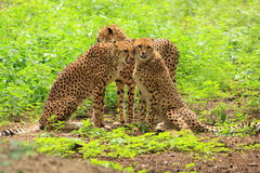 Three cheetah's in green vegetation Stock Photo