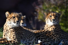Three cheetahs Stock Image