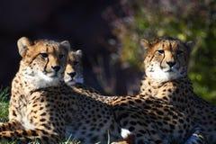 Three cheetahs. Seat there, enjoying life stock image