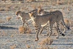 Three cheetahs at kgalagadi Stock Image