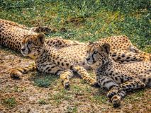 Three cheetahs lie on the ground among the green grass royalty free stock photo