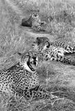 Three cheetahs - Namibia Stock Photography
