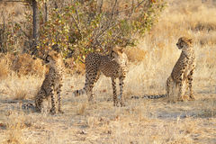 Three cheetahs, Namibia Stock Photo