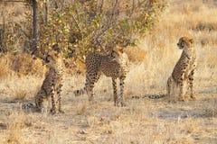 Three cheetahs, Namibia Stock Photo