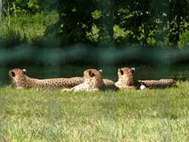 Three cheetahs resting. On the grass Royalty Free Stock Photo