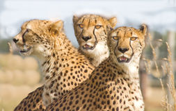Three Cheetahs in safari park. Three Cheetahs on alert in safari park Royalty Free Stock Photography