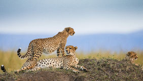 Three cheetahs in the savannah. Kenya. Tanzania. Africa. National Park. Serengeti. Maasai Mara. Royalty Free Stock Photos