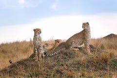 Three cheetahs in the savannah Stock Photos