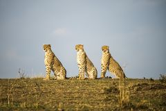Three Cheetahs sitting in a row. Acinonyx jubatus. Maasai Mara, Africa. stock photos