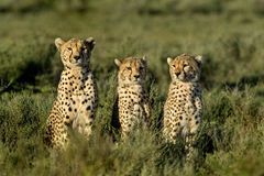 Three Cheetahs sitting, Serengeti royalty free stock photo