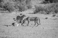 Three Cheetahs on a Springbok kill. Stock Image