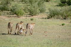 Three Cheetahs on a Springbok kill. Royalty Free Stock Photos