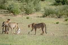 Three Cheetahs on a Springbok kill. Royalty Free Stock Images