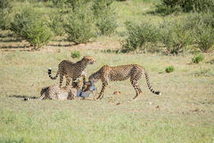 Three Cheetahs on a Springbok kill. Stock Photo