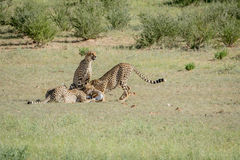 Three Cheetahs on a Springbok kill. Royalty Free Stock Photography
