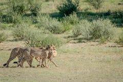 Three Cheetahs on a Springbok kill. Royalty Free Stock Photos