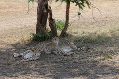 Three cheetahs under a tree royalty free stock image