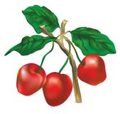 Three cherries on a branch Stock Photos