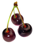 Three cherries on a branch isolated Royalty Free Stock Images