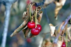 Three cherries on a dry branch of a tree with leaves royalty free stock photography