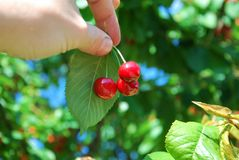 Three cherries in hand Stock Images