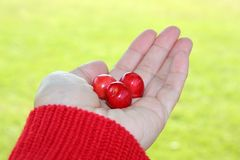 Three cherries in hand Stock Photos