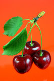 Three cherries with leafs. Royalty Free Stock Photo