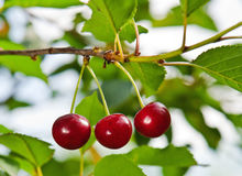 Three cherries Stock Images