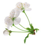 Three cherry flowers Royalty Free Stock Image