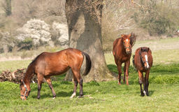 Three chestnut mares beside oak tree Royalty Free Stock Photos