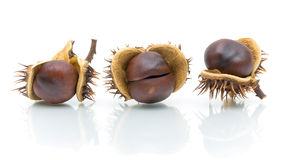 Three chestnuts in peel on a white background Royalty Free Stock Image